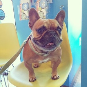 French Bulldog on Herman Miller